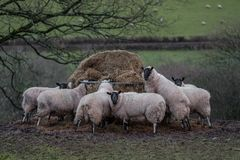 Sheep eating hay in a welsh farmers field royalty free stock photography