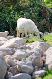 Sheep Eating on the hill Royalty Free Stock Images