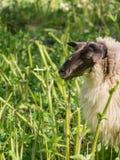Sheep eating hogweed Royalty Free Stock Photos