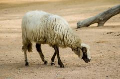 Sheep eating. A lonely sheep in a farm Stock Photography