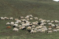Sheep are Eating Royalty Free Stock Image