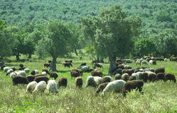 Sheep eating in an olive tree field Stock Image