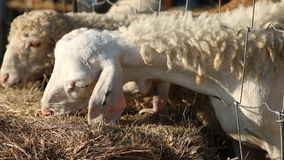 Sheep eating rice straw in farm Stock Photography