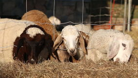 Sheep eating rice straw in farm Stock Images