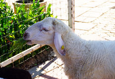 Sheep is eating some grass. In the paddock Royalty Free Stock Photo
