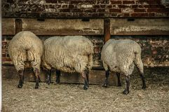 Sheep Eating from a Trough royalty free stock images