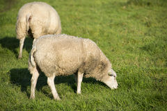 Sheep eating Stock Images