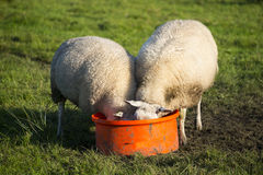 Sheep eating Stock Image