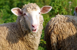 Sheep eats grass Royalty Free Stock Images