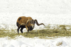 Sheep eats hay. Royalty Free Stock Image