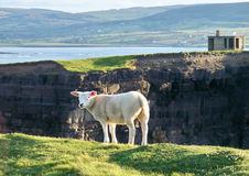 Sheep on the edge. With a beautiful Irish background scenery Stock Photo