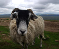 Sheep in England (Yorkshire Dales). A photo of a Sheep in England (Yorkshire Dales Stock Photos