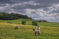Sheep in English Hay Meadow Stock Photo