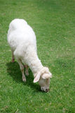 Sheep enjoy the green grass Royalty Free Stock Photo