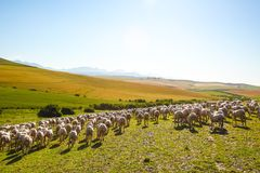 Sheep enjoying landscape of South Africa Stock Photo