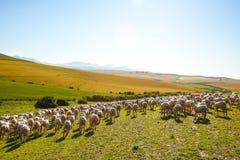 Sheep enjoying landscape of South Africa Stock Photo