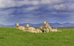 Sheep enjoying the sun in Cornwall royalty free stock photo