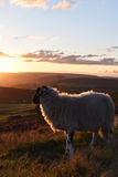 Sheep Enjoying the View Stock Photo