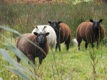 Sheep in the estate of oldenaller Stock Photos