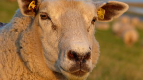 Sheep in the evening sun Stock Photography