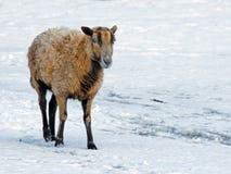 Sheep Ewe. A female sheep ewe walking in the snow royalty free stock photography