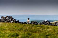 Sheep. Ewe and lamb. Ewe and lamb on drystone wall, Yorkshire Royalty Free Stock Photo