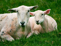 Sheep - Ewe and Lamb. Together in field lying down taking a rest from chewing the grass Wales UK royalty free stock photography