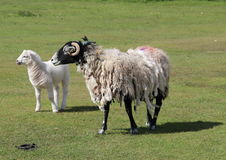Sheep Ewe and Lamb wooly black face Stock Images