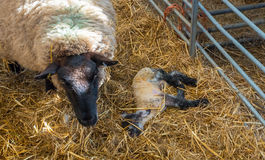 Sheep ewe licks her lamb after giving birth stock images