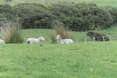 Sheep on New Zealand farm. Sheep, ewe and new lamb resting on grass on farm in New Zealand stock photography
