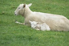 Sheep on New Zealand farm. Sheep, ewe and new lamb sitting together on farm in New Zealand royalty free stock images