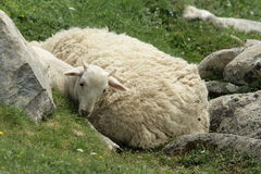 Sheep and ewe in Pyrenees Stock Photography