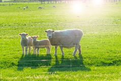 Sheep, ewe and two lambs looking inquisitively through fence. Back-lit by low sun royalty free stock photography