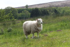 Sheep on Exmoor. A sheep in a field in Exmoor National Park Royalty Free Stock Photo