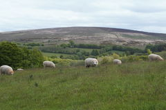Sheep on Exmoor. Sheep grazing in a field on Exmoor National Park Stock Image