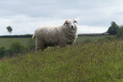 Sheep on Exmoor. A Sheep grazing in a field on Exmoor National Park Stock Photography