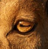 Sheep eye close-up Stock Image