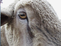 Sheep Eye Stock Photos