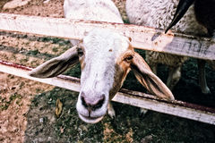 Sheep. Eye contact with a female sheep Stock Photography