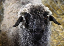 Sheep Face Royalty Free Stock Photography