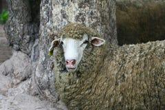 Sheep face Stock Photos