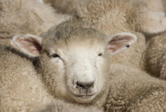 Sheep face Stock Image