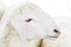 Sheep face Stock Photography