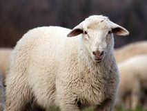 Sheep face, lamb look in camera Stock Image
