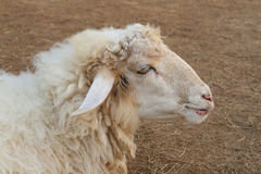Sheep face, side view Royalty Free Stock Photography