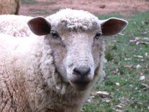 Sheep face. White Sheep Close up face royalty free stock photos