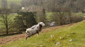 Sheep facing uphill above meadow Royalty Free Stock Image