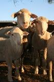 Sheep family. Looking at camera Stock Images