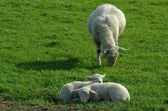Sheep family. Two easter lambs enjoying the sun while mother is grazing Royalty Free Stock Image