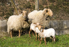 Sheep family. All together. The father was the defender member against us while taking this shot Royalty Free Stock Photo